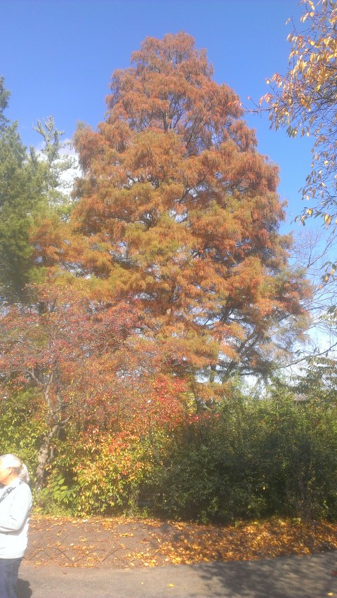Taxodium distichum plantplacesimage20141030_132416.jpg