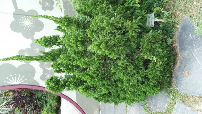 Juniperus chinensis plantplacesimage20150108_134355.jpg