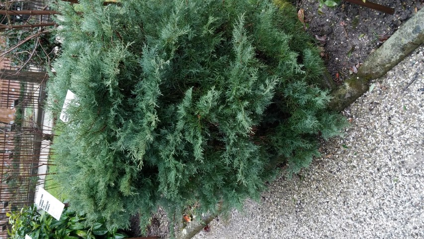 Juniperus virginiana plantplacesimage20150222_103756.jpg