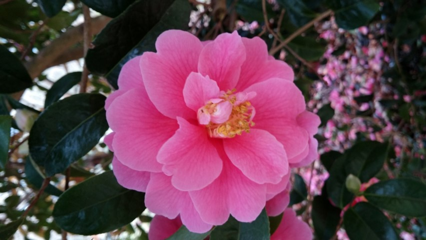 Camellia williamsii plantplacesimage20150301_122930.jpg
