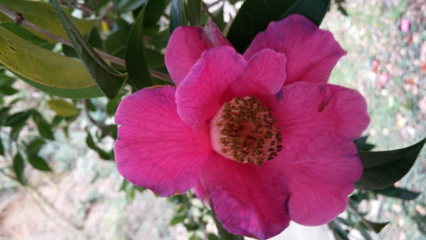 Camellia williamsii plantplacesimage20150301_123416.jpg