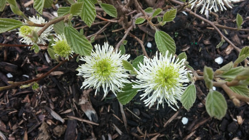 Fothergilla major plantplacesimage20150420_174859.jpg