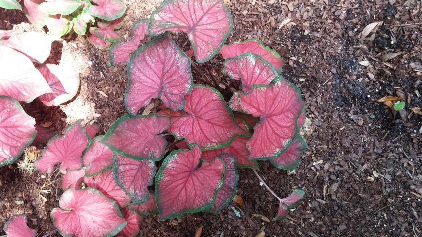 Caladium spp plantplacesimage20150531_160012.jpg