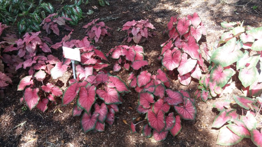 Caladium spp plantplacesimage20150531_160026.jpg