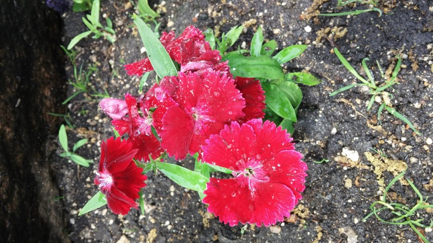 Dianthus sp. plantplacesimage20150605_131454.jpg