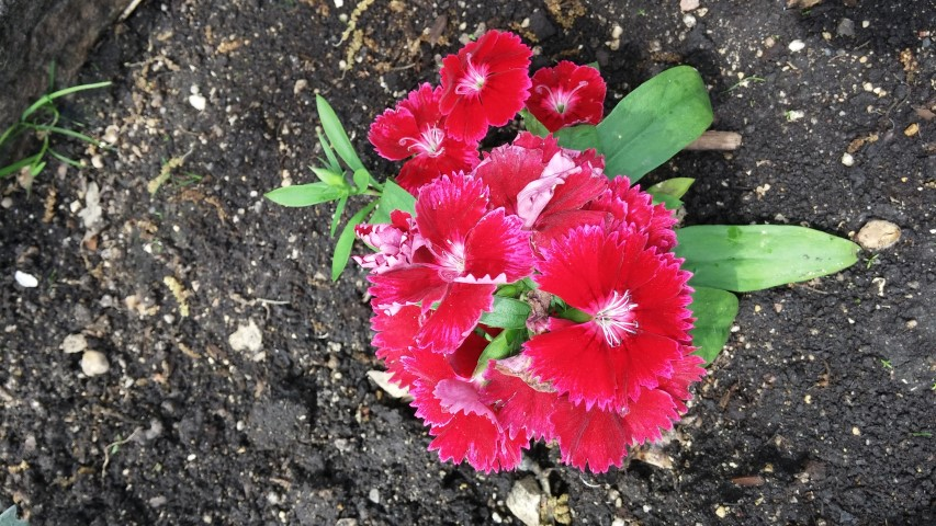 Dianthus sp. plantplacesimage20150605_131508.jpg