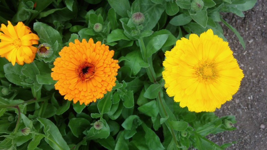 Calendula officinalis plantplacesimage20150707_163118.jpg