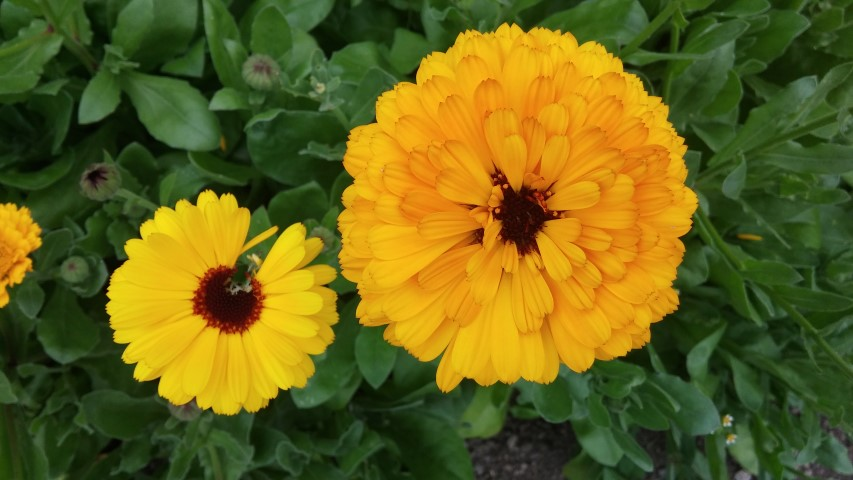 Calendula officinalis plantplacesimage20150707_163131.jpg