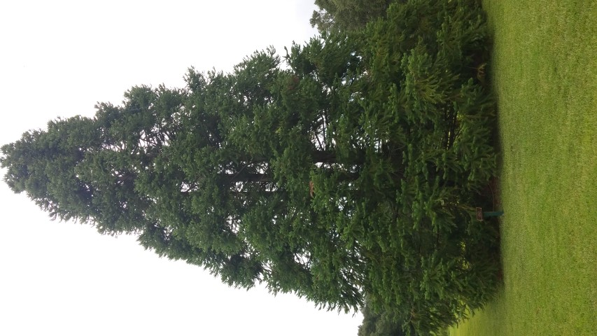 Abies firma plantplacesimage20150808_143750.jpg