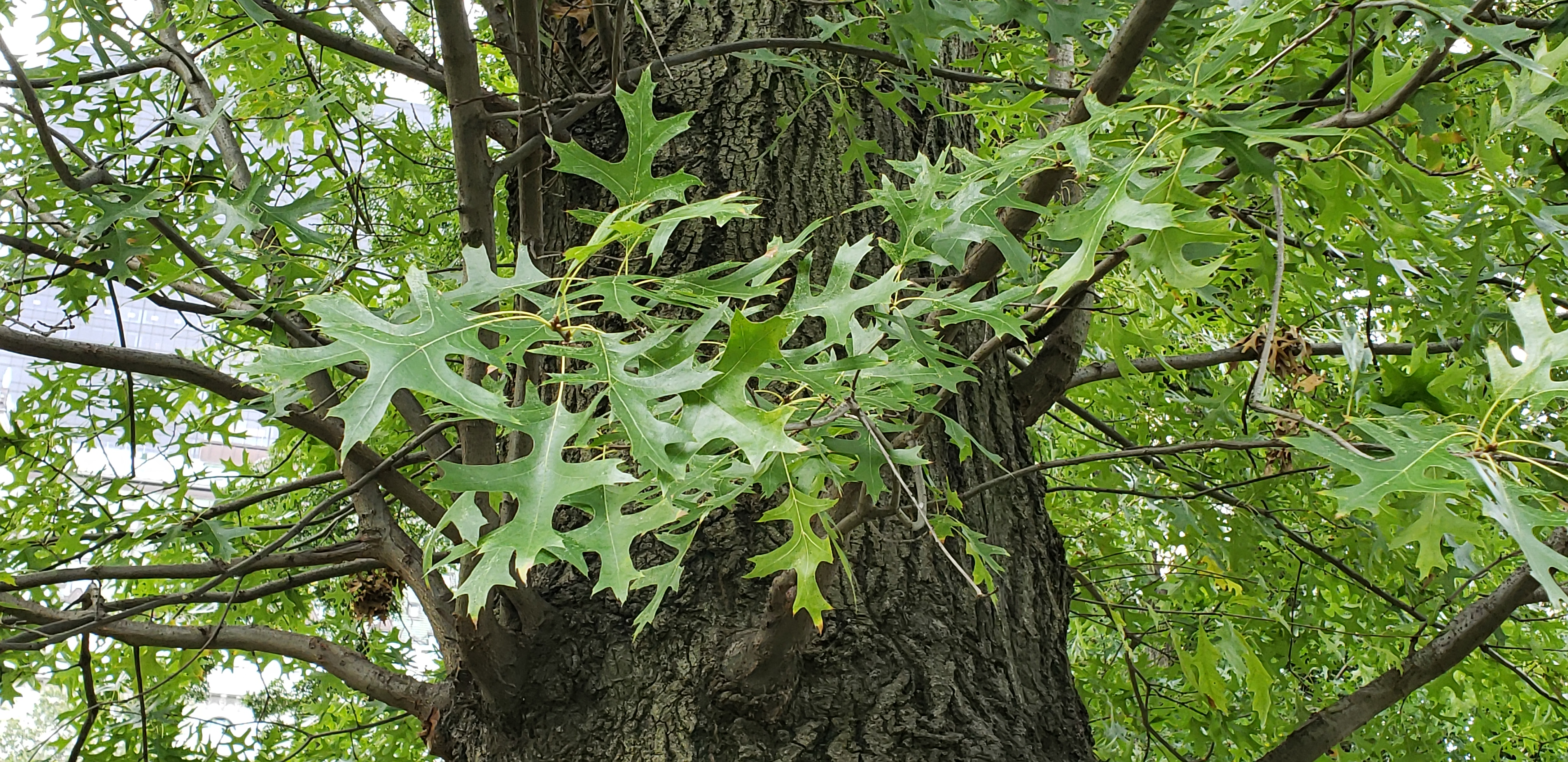 Quercus palustris plantplacesimage20181014_092542.jpg