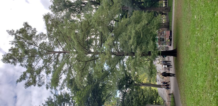 Taxodium distichum plantplacesimage20181014_100726.jpg