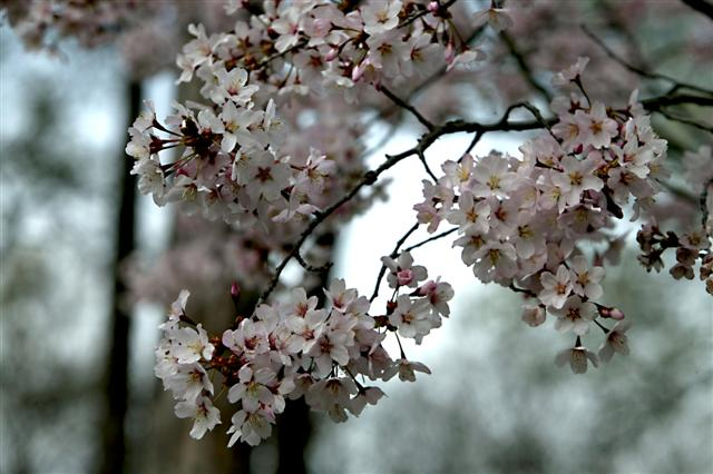 Picture of Prunus sargentii  Sargent Cherry