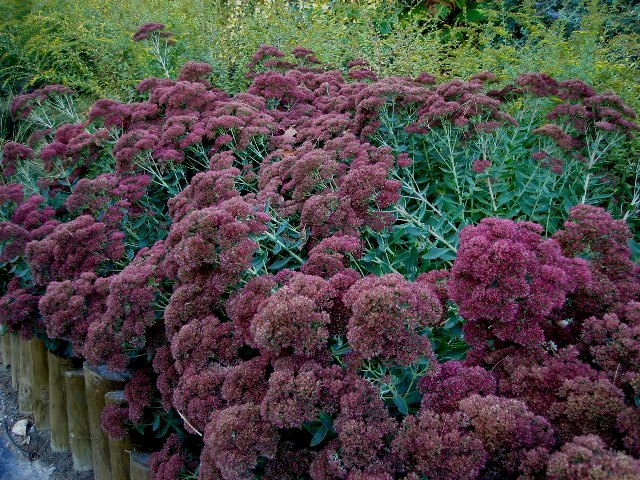 Picture of Sedum telephinum 'Autumn Joy' Autumn Joy Sedum