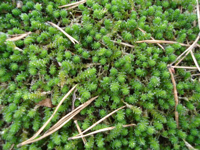 Picture of Sedum sexangulare  Watch Chain Stonecrop