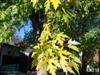Photo of Genus=Acer&Species=saccharinum&Common=Silver Maple&Cultivar=