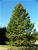 Photo of Genus=Abies&Species=holophylla&Common=Manchurian Fir or Needle Fir&Cultivar=