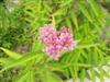 Photo of Genus=Asclepias&Species=incarnata&Common=Swamp Milkweed&Cultivar=