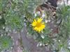 Photo of Genus=Asteriscus&Species=sericeus&Common=Canary Islands Daisy&Cultivar=