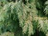 Photo of Genus=Chamaecyparis&Species=lawsoniana&Common=Sullivan  Falsecypress&Cultivar='Sullivan'