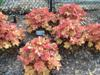 Photo of Genus=Heuchera&Species=villosa&Common=Caramel Alum Root&Cultivar='Caramel'