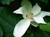 Photo of Genus=Magnolia&Species=macrophylla&Common=Bigleaf Magnolia&Cultivar=