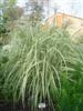 Photo of Genus=Miscanthus&Species=sinesis&Common=Variegated Silver Grass&Cultivar='Variegatus'