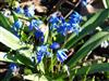 Photo of Genus=Scilla&Species=siberica&Common=Siberian Squill&Cultivar=