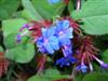 Photo of Genus=Ceratostigma&Species=plumbaginoides&Common=Plumbago, Leadwort&Cultivar=