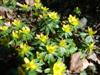 Photo of Genus=Eranthis&Species=hyemalis&Common=Winter Aconite&Cultivar=