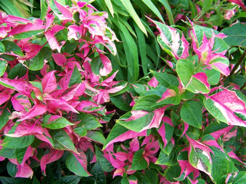 "Picture of Live Joseph's Coat  aka Alternanthera ficoidea 'Party Time' Plant Fit 4"" Pot"