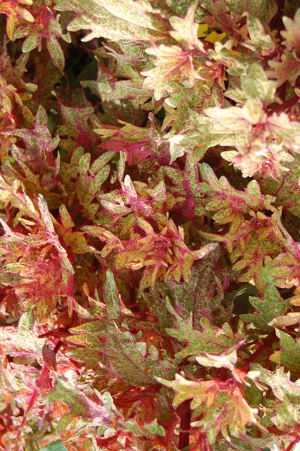 Picture of Solenostemon scutellarioides Limon Blush Coleus Limon Blush Coleus