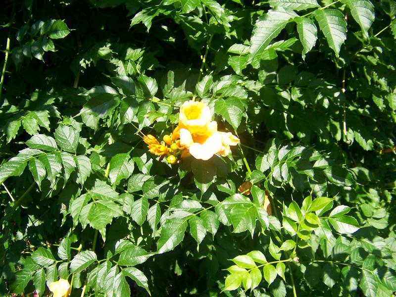 Picture of Campsis radicans 'Flava' Trumpet Creeper