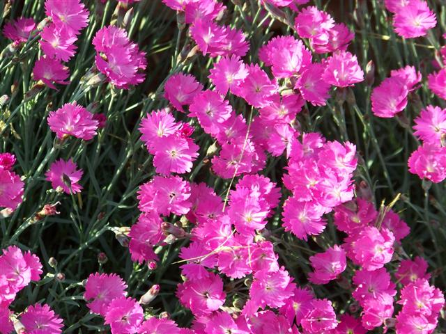 Picture of Dianthus gratianopolitanus 'Firewitch' Firewitch Dianthus