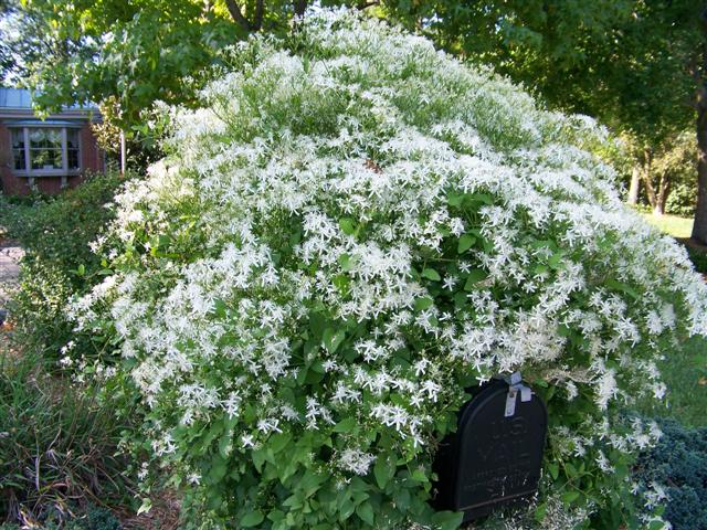 Picture of Clematis maximowicziana  Sweetautumn Clematis