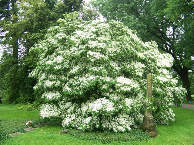 Picture of Cornus kousa 'Milky Way' Milky Way Kousa Dogwood