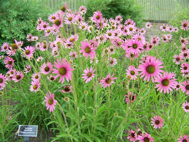 Picture of Echinacea tennesseensis 'Rocky Top' Rocky Top Coneflower