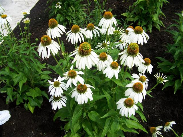 Picture of Echinacea purpurea 'White Swan' White Swan Coneflower