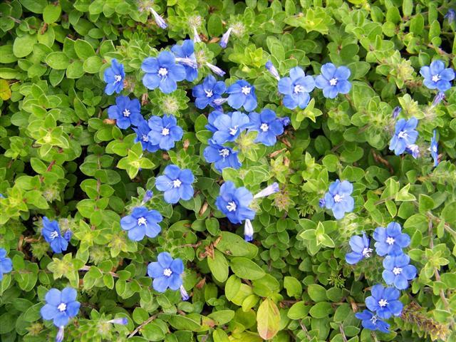 Picture Of Evolvulus Hybrid Blue My Mind Dwarf Morning