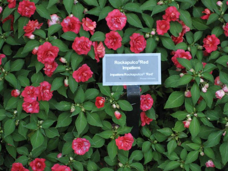 Impatiens wallerana Impatiens_sign_1.JPG