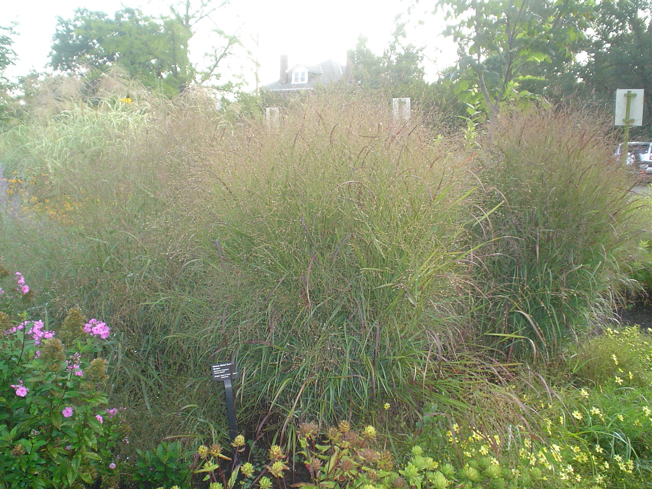 Picture of Panicum virgatum 'Heavy Metal' Switch Grass