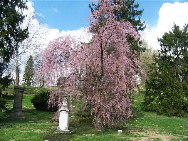 Picture of Prunus subhirtella Pendula Rosea Pink Flowering Weeping Cherry
