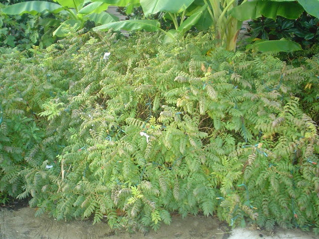 Picture of Sorbaria sorbifolia 'Sem' Sem Ural False Spirea