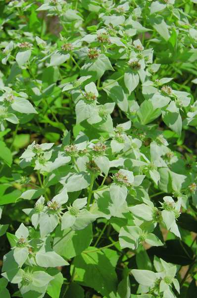 Picture of Pycnanthemum muticum  Short-toothed Mountain Mint