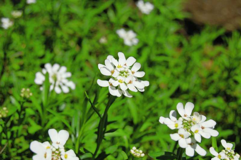 Picture of Iberis sempervirens  Evergreen Candytuft