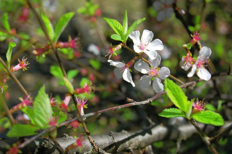 Picture of Prunus tomentosa  Nanking Cherry