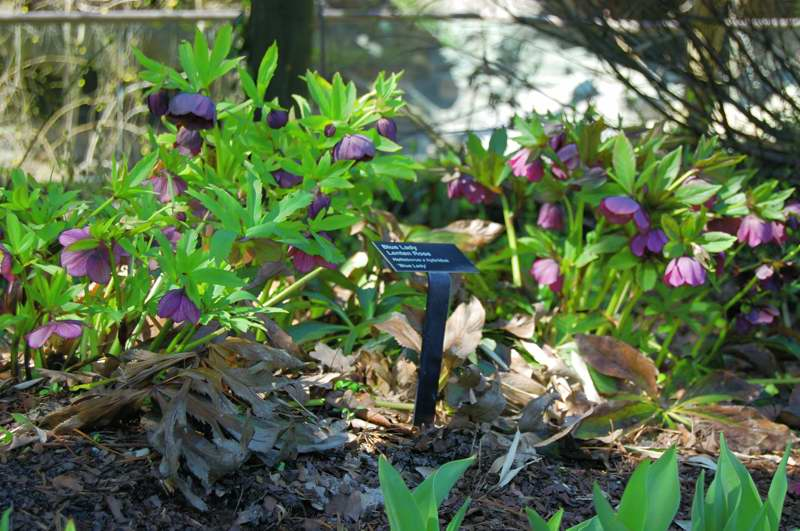 Picture of Helleborus x hybridus 'Blue Lady' Blue Lady Lenten rose
