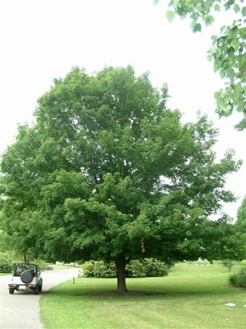 Picture of Acer saccharum 'Sweet Shadow' Sweet Shadow Sugar Maple