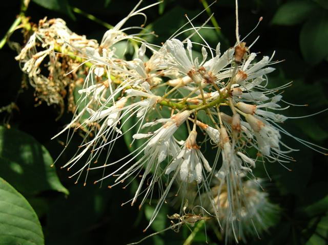 Picture of Aesculus parviflora  Bottlebrush Buckeye
