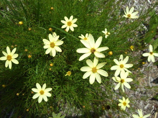 Picture of Coreopsis verticillata 'Moonbeam' Moonbeam Coreopsis