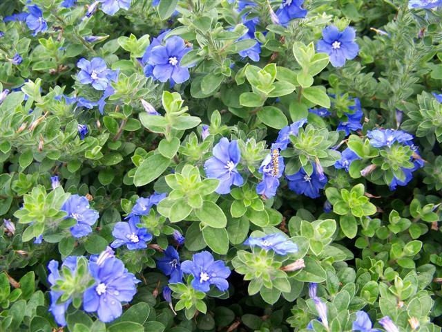 Evolvulus Hybrid Blue My Mind Dwarf Morning Glory Picture Detail